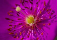 Rosa färgen blommar med långa stigma och ståndarknappar Arkivbild