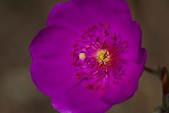 Rosa färgen blommar med långa stigma och ståndarknappar Arkivfoto