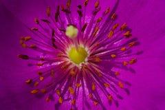 Rosa färgen blommar med långa stigma och ståndarknappar Royaltyfri Fotografi