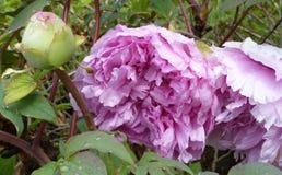 Rosa färgen blommar med regndroppar Royaltyfri Fotografi