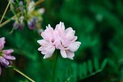 Rosa färgen blommar på bänk med sidor Fotografering för Bildbyråer