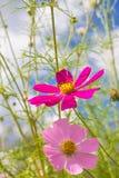 Rosa färgen blommar på backgroud för blå himmel Fotografering för Bildbyråer