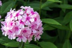 Rosa färgen blommar på buskar Royaltyfri Bild