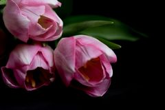 Rosa färgen blommar på den svarta bakgrunden Kopia av utrymme Tulpan Fotografering för Bildbyråer