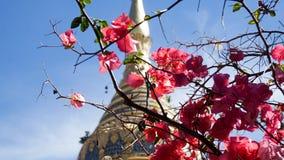 Rosa färgen blommar på ett träd med en Stupa bakom Royaltyfri Bild