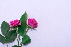 Rosa färgen blommar på vit backround Arkivbild