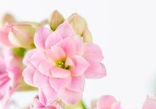 Rosa färgen blommar på vit bakgrund, den Kalanchoe blossfeldianaen Arkivbild
