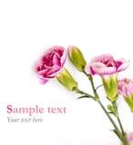Rosa färgen blommar på vit bakgrund med prövkopiatext (minsta stil) Arkivfoto