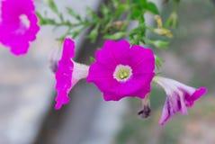 Rosa färgen blommar tätt upp i naturbakgrund Arkivbild