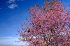 Rosa färgen blommar trädet med blå himmel på Thailand Royaltyfria Bilder