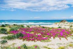 Rosa färgen blommar vid kusten i Platamona Arkivfoton