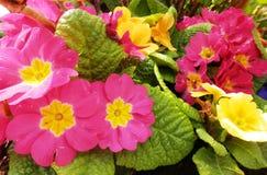 Rosa färgen och guling blommar på en rabatt Fotografering för Bildbyråer