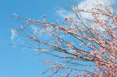 Rosa färgen som blomstrar filialer med det blommande äppleträdet för våren, blommar royaltyfri fotografi