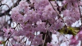 Rosa färgen som gråter den körsbärsröda blomningen, förgrena sig inflyttning vinden stock video