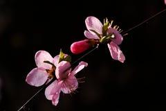 Rosa färger; [ä¸è¯] Semen Persicae Royaltyfri Foto