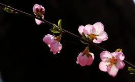 Rosa färger; [ä¸è¯] Semen Persicae Arkivbilder