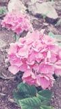 Rosa rosa rosa färger arkivfoto