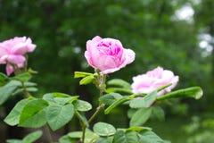 Rosa rosa färger Royaltyfri Fotografi