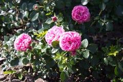 Rosa rosa färger Arkivfoton