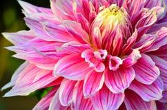 Rosa färger Royaltyfri Foto
