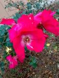 Rosa färger fotografering för bildbyråer