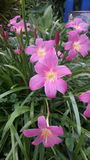 Rosa färger Royaltyfri Fotografi