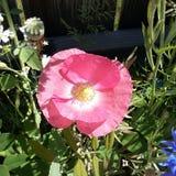 Rosa färger Royaltyfri Bild