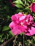 Rosa färger Arkivfoton