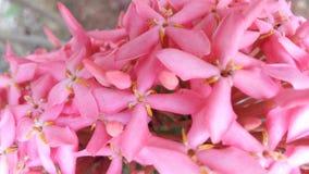 Rosa färger Arkivbilder