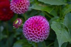 Rosa färger Anemon-blommad dahliablomma Arkivfoto