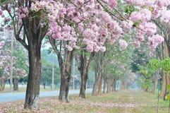Rosa färger av landskapet för natur för sakura blommaträd det så härliga för februari royaltyfri fotografi