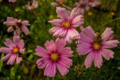 Rosa färger Beauty1 Fotografering för Bildbyråer
