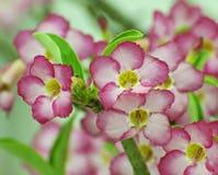 Rosa färger blommar, Adeniumobesumträdet, öken steg, rackarungen Arkivfoton
