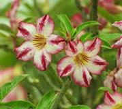 Rosa färger blommar, Adeniumobesumträdet, öken steg, rackarungen Royaltyfri Bild
