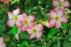 Rosa färger blommar, Adeniumobesumträdet, öken steg, rackarungen Arkivbilder