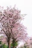 Rosa färger blommar att blomma på trädet, rosa färg trumpetar Royaltyfri Bild