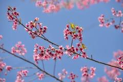 Rosa färger blommar blå himmel Fotografering för Bildbyråer