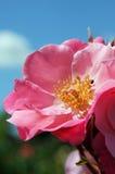 Rosa färger blommar blå himmel Royaltyfria Foton