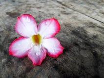 Rosa färger blommar den pålagda tabellen Royaltyfria Bilder
