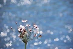Rosa färger blommar framme av floden med att moussera bakgrund för blått vatten Royaltyfria Foton