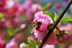 Rosa färger blommar garnering, biet i en rosa blomma, blomman, naturen, kronbladet, rosa färgen, blom, växten, våren, skönhet, tr Arkivfoto