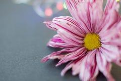Rosa färger blommar krysantemumnärbildmakro på en grå bakgrund arkivfoton
