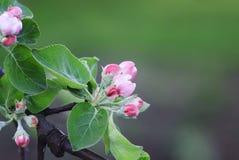Rosa färger blommar på den Apple trädfilialen som blommar i tidig vår Royaltyfria Foton