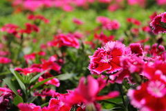 Rosa färger blommar (pionen) i trädgården Arkivbild