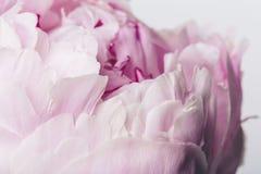 Rosa färger blommar tätt upp med släta kronblad på en vit bakgrund Royaltyfri Foto