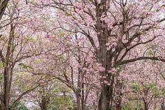 Rosa färger blommar trädet som blommar, rosa trumpetträd Fotografering för Bildbyråer