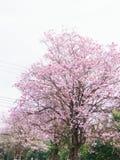 Rosa färger blommar trädet som blommar, rosa trumpetträd Arkivfoton