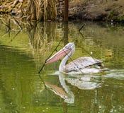 Rosa färger drog tillbaka pelikansimning i vattnet med en filial i dess räkning, pelikan som samlar filialer för att bygga ett re royaltyfria foton