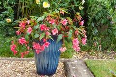 Rosa färger dubblerar fuchsiaväxten i en blå porslinkruka Arkivbild