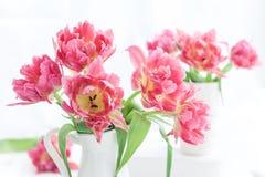 Rosa färger dubblerar piontulpan Fotografering för Bildbyråer